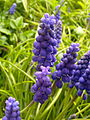 Fleurs de muscari à Grez-Doiceau 002.jpg
