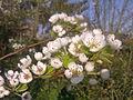 Fleurs de poirier à Grez-Doiceau 009.jpg