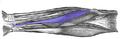 Flexor-carpi-radialis-horizontal.png