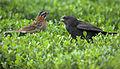 Flickr - Dario Sanches - VIRA-BOSTA Imaturo (Molothrus bonariensis) e ( Zonotrichia Capensis ) (2).jpg