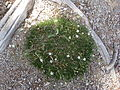 Flickr - brewbooks - Arenaria fendler (Fendler's sandwort) (1).jpg