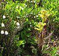 Flickr - brewbooks - Pedicularis rainierensis and Cassiope mertensia Mount Rainier lousewort at Spray Park.jpg