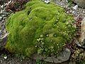 Flickr - brewbooks - To be Identified Cushion plant (1).jpg