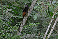 Flickr - ggallice - Saddleback tamarin.jpg