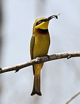 Flickr - tj.haslam - Little Bee-Eater (Merops pusillus).jpg
