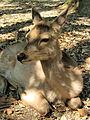 Flickr - yeowatzup - Sika Deer, Nara Park, Nara, Japan.jpg