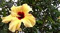 Flor Amarela de planta conhecida como Graxa-Ba.jpg