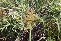 Flora della Sardegna 303 (4).JPG