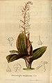 Flore des serres et des jardins de l'Europe - vol. 04 - page 370.jpg