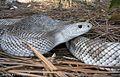 Florida Pine Snake, Pituophis melanoleucus light pattern.jpg