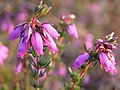 Flowering bell heather, Longdown Inclosure, New Forest - geograph.org.uk - 186704.jpg