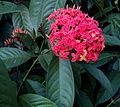 Flowers,Ixora coccinea,Tamil Nadu500.jpg