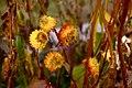 Flowers (3042842878).jpg