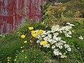 Flowers daisies and buttercups Qarqortoq Greenland.jpg