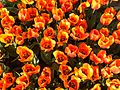 Flowers in Bute Park, Cardiff (16972964930).jpg