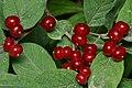 Fly Honeysuckle (Lonicera xylosteum) - Guelph, Ontario 2020-07-26.jpg