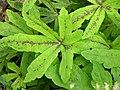 Foam Flower Tiarella cordifolia 'Oak Leaf' Leaves 3264px.jpg