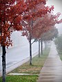 Foggy Red (272999357).jpg