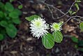Fothergilla gardenii 7zz.jpg