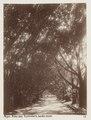 Fotografi på Fikusallé, Alger - Hallwylska museet - 107928.tif