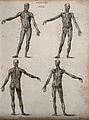 Four écorché figures, front and back views. Line engraving b Wellcome V0008013.jpg