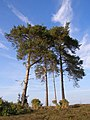 Four prominent pines on Buck Hill, New Forest - geograph.org.uk - 389947.jpg