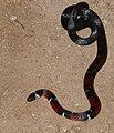 French Guyana Ground Snake (Atractus badius micheli) (26815986999).jpg