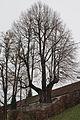 Friedhofslinde in Steyr 7.jpg
