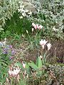 Front Garden - Flickr - peganum.jpg