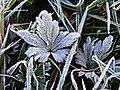 Frosty Plants (188879585).jpeg