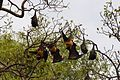 Fruit bats - near Bharatpur India (4610549204).jpg