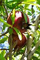 Fruit trees עצי פרי (47).JPG