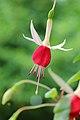 Fuchsia 'Land van Beveren'.JPG