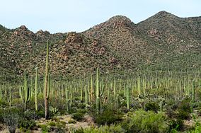 Full of saguaros - Saguaro National Park - Pima County, Arizona, USA - 3 April 2015.jpg