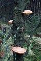 Fungi on Tree near Leaf Howe - geograph.org.uk - 761596.jpg