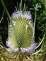 GT Teasel flowerhead.jpg