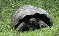 Galapagos Tortoise (40801417183).jpg