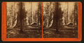 Galen's Hospice, Mariposa Grove, Mariposa County, Cal, by Watkins, Carleton E., 1829-1916 6.png