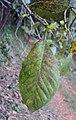 Gardenia gummifera 20.JPG