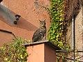 Gato - panoramio (1).jpg