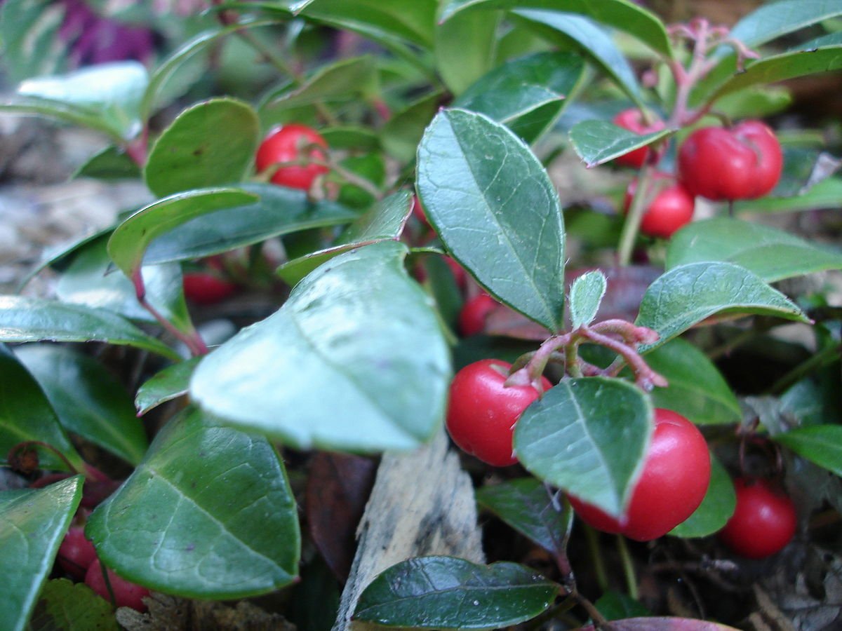 gaultheria procumbens wikipedia. Black Bedroom Furniture Sets. Home Design Ideas