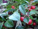 ...зимолюбка гаултерия) (Gaultheria progumbens).  Родина - Канада, США.