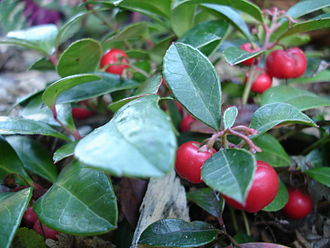 Gaultheria procumbens - The ripe berries in October in Hammond, Indiana