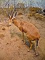 Gazella dorcas 01.JPG