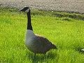 Geese 8.jpg