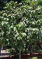 Geiger Tree (Cordia sebestena) tree in Hyderabad, AP W 264.jpg
