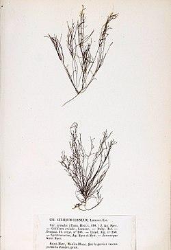 Gelidium crinale Crouan.jpg