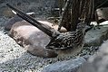 Geococcyx californiana 9zz.jpg