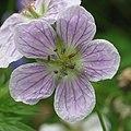 Geranium richardsonii RF.jpg