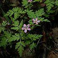 Geranium robertianum1002.jpg